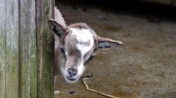 多摩動物公園で生まれた子ヤギが「家政婦は見た」すぎる【画像・動画】