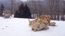 子犬たちがワサワサとお母さんと遊ぶ姿がひたすらなごむ【動画】