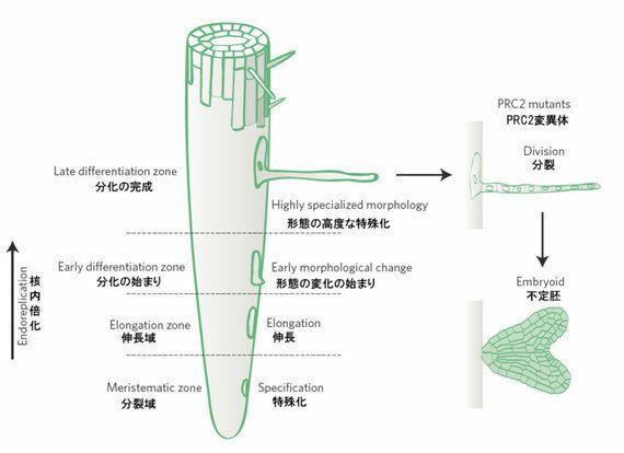 植物細胞の