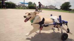 足が不自由な犬を救ったのは、車椅子の青年だった。(動画)