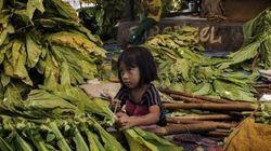 インドネシア:たばこ農場が潤う陰で苦しむ子どもたち