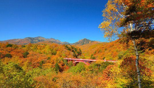 紅葉、八ヶ岳で本格シーズン 深紅に染まる木々に映える「赤い橋」