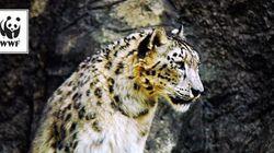 絶滅危惧種に指定されている幻の動物。10月23日は「世界ユキヒョウの日」