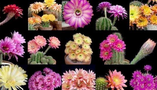 サボテンは、こんなに可憐で美しい花を咲かせます。(動画)