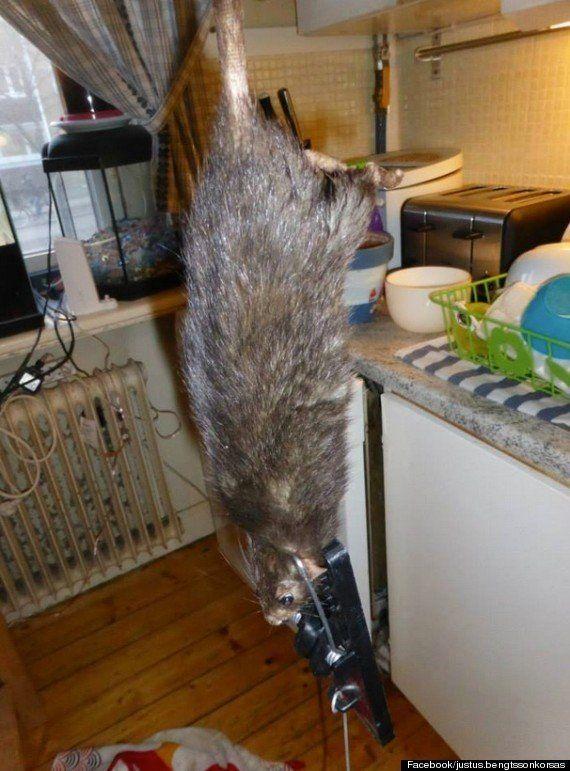 殺鼠剤が効かない巨大ネズミ、各国都市で増殖中【画像・動画】