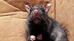 殺鼠剤が効かない巨大ネズミ、各国都市で増殖中