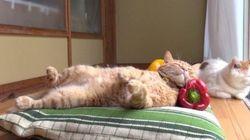 眠る茶トラ猫、パプリカの新しい使い道を見つける