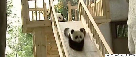 あらあら、アライグマのお母さんが赤ちゃんに木登りを教えているよ(動画)