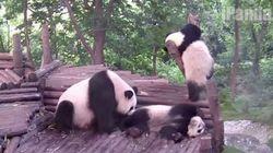 子パンダは、木に登ろうとした。だがしかし......(動画)