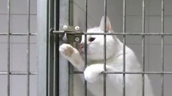 手先が器用な白猫、ケージの鍵を内側から華麗に解錠