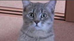 どんな飼い主でも負ける、猫の「ごはんちょうだい」【動画】