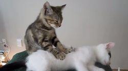モミモミモミモミ。子猫のマッサージ屋さん(動画)