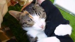 甘えモードの三毛猫、腕を抱きしめて恍惚の表情