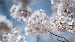 週末の桜の見頃は?