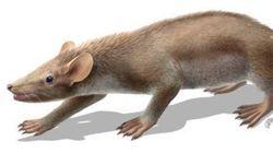 中生代の哺乳類化石に保存された軟部組織