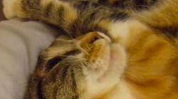 甘えん坊な三毛猫、腕をギュッと掴んで頭をスリスリ