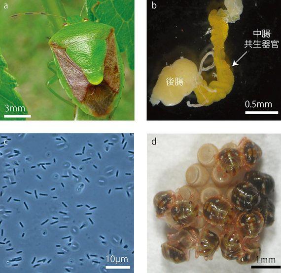 カメムシの腸内共生細菌は進化の途上