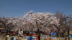 週末の花見 関東から近畿は明日29日がオススメ