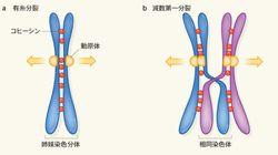 減数第一分裂の染色体分配の司令塔「MEIKIN」とは
