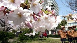 今週は桜の開花ラッシュ 花粉飛散もピークに(吉田友海)