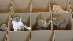 猫たちが、段ボールの迷路に迷い込んだ(動画)