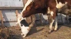 三毛柄の猫、三毛柄の牛と相思相愛