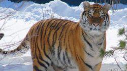 シベリアトラの個体数調査開始、2000名の調査員が雪上の足跡を追う
