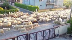 「メェエエエー」羊の大群が住宅街歩いてるよ。隣の生垣食べてるよ。(動画)