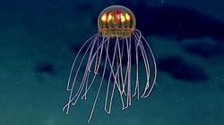 まるでUFO、新種の深海クラゲは優雅に泳ぐ(動画)