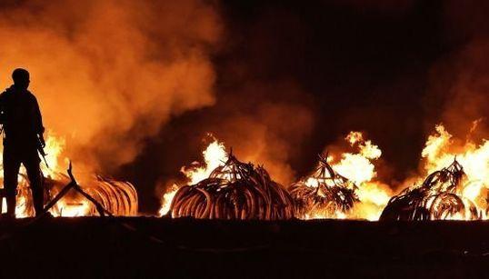 8000頭分の象牙を焼却 ケニア大統領が着火し密猟根絶アピール