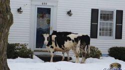 「逃げ出した牛が乳製品を売り歩いている」警察が警告