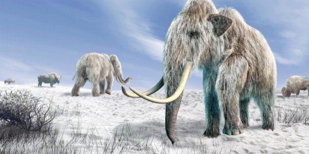 Woolly mammoths. Computer artwork of woolly mammoths (Mammuthus primigenius) and bison (Bison bison)...