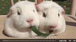 2匹のハムスターが一緒に草を食べてるよ......?(動画)