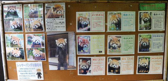 絶滅危機のレッサーパンダ、飼育は日本が世界一 「風太」が知名度や繁殖で貢献