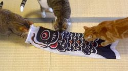 「鯉のぼり」ならぬ......「猫のぼり」が誕生しました。(動画)
