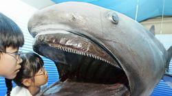 沖縄の海岸に幻の巨大ザメの歯化石漂着