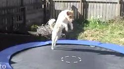 犬や猫やキツネが......ついにトランポリンと出会ってしまった「何これー?」(動画)