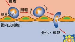 さまざまな感染症の新しい治療法につながる成果、筑波大の研究グループの発見