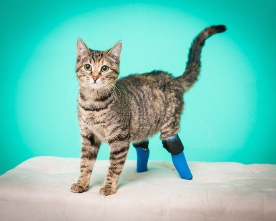 義足の後脚で暮らす猫、階段を華麗な逆立ち歩きで下りる