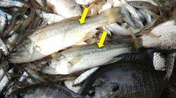 全国の湖沼で魚介類減少、外来魚が脅威