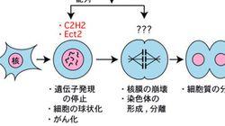 細胞分裂を統御する酵素の標的に新配列