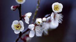 梅が開花、東京都心で 27日は一転して冷たい北風