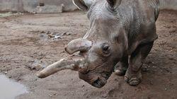 キタシロサイ、世界で残り3頭に サンディエゴ動物園「ノラ」が41歳で死亡