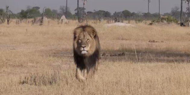 「ジンバブエで最も有名なライオン」を射殺、頭を切り落とす ハンターに非難殺到