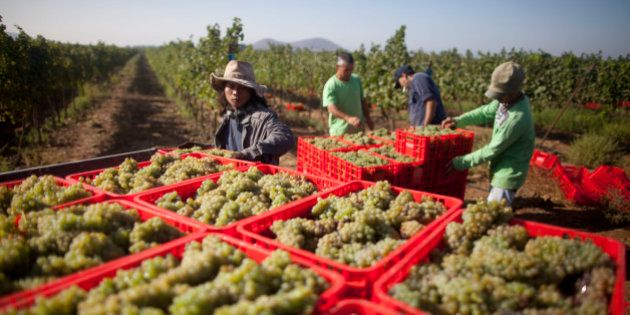 GOLAN HEIGHTS - SEPTEMBER 02: (ISRAEL OUT) Israelis and Thai workers lift Crates of Viognier grapes at...