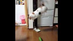 「なんじゃこりゃー」猫、キュウリを見た驚きを全身で表現する【動画】