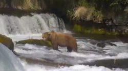 ウェブカメラで癒しのひとときを クマがわらわらと集まってくる(動画)