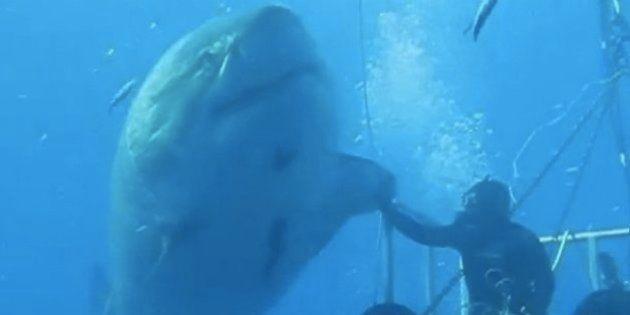 巨大なホホジロザメに、食われそうになりながらハイタッチ【動画】