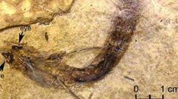 眼が残った最古の魚類化石を発見 脊椎動物の眼の進化を探る貴重な物証