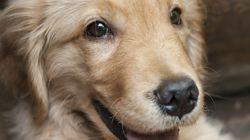 【ニュースで学ぶ英語】盲導犬が飼い主を救うために体を張る